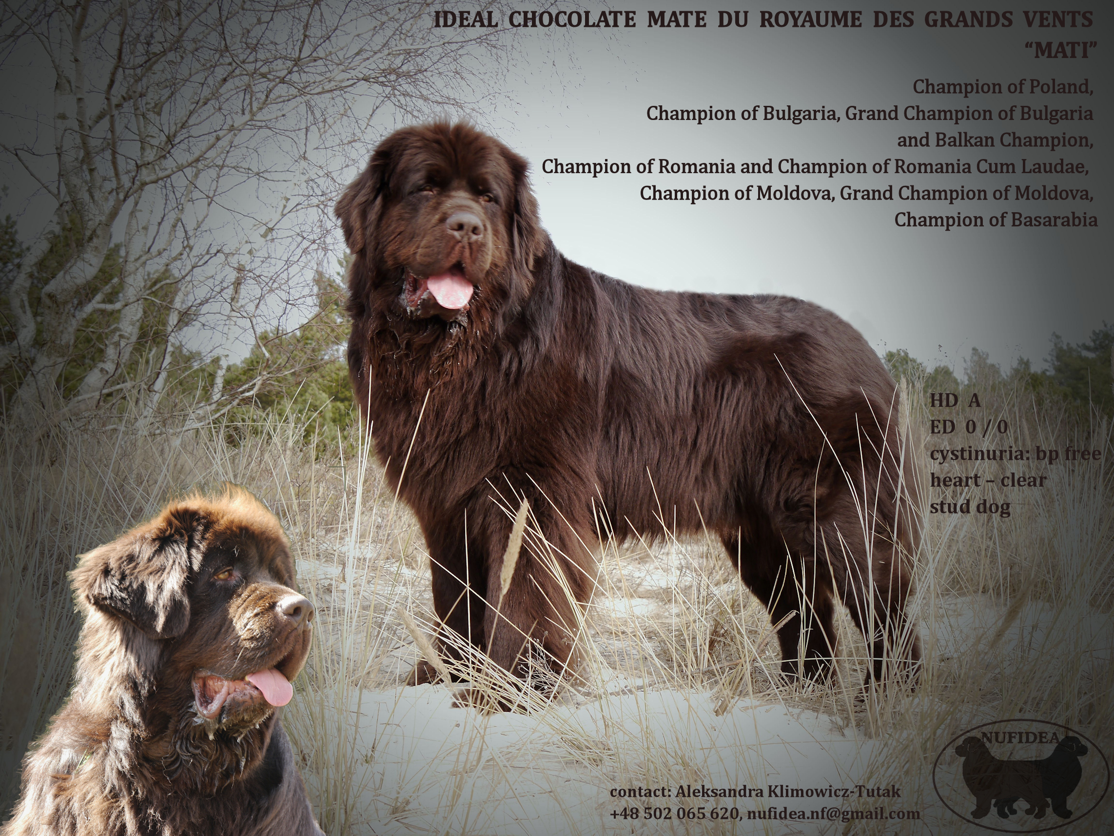 IDEAL CHOCOLATE MATE DU ROYAUME DES GRANDS VENTS_stud_dog_s